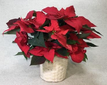 Red Poinsettia In A White Basket
