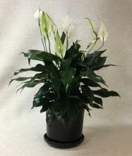 Peace Lily in Black Ceramic Container