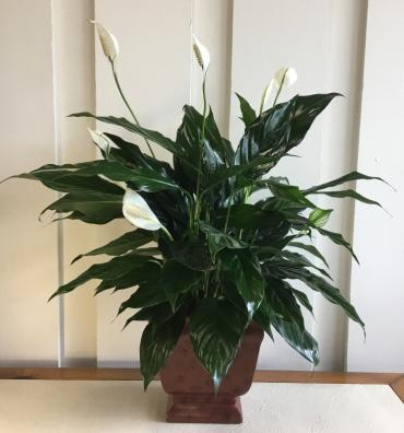 Noble Peace Lily
