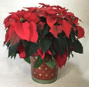 Red Poinsettia In A Star Container