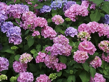 Locally Grown Hydrangea