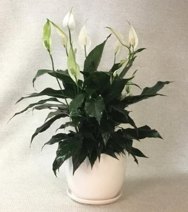 Peace Lily in White Ceramic Container