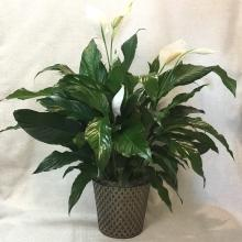 Peace Lily in Metal Container