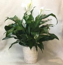 Simply Elegant Spathiphyllum - Medium